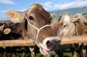 Obwaldner Landwirte erhalten weniger Beiträge für die Jungviehaufzucht. (Bild: Fabian Fellmann)