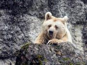 Momentan kein Grund zur Beunruhigung für die Bären im Kanton Uri: Die Stimmberechtigten haben zwar eine Volksinitiative gutgeheissen, die die Bevölkerung besser vor Grossraubtieren schützen soll, doch dürfte dies kaum Auswirkungen auf die Bestandesregulierung haben. (Bild: KEYSTONE/ALEXANDRA WEY)