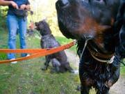Halter von «grossen und massigen Hunden» werden im Kanton Zürich von der Leine gelassen: Sie müssen keinen Kurs mehr absolvieren. (Bild: KEYSTONE/MARTIN RUETSCHI)