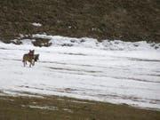 Die Identität des am vergangenen Weihnachtstag nachgewiesenen Wolfes in Liechtenstein ist geklärt. Es handelt sich um die Wölfin F30 aus dem Calandarudel bei Chur. (Bild: KEYSTONE/ALBERIO PINI)