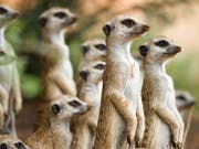 Erdmännchen sind zwar an harsche Bedingungen in der Wüste gewöhnt, die Folgen des Klimawandels könnten sie jedoch in Bedrängnis bringen. (Bild: Arpat Ozgul / Kalahari Meerkat Project)