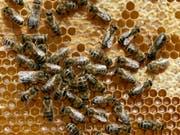 Bienen kommunizieren mithilfe eines vibrierenden Tanzes, wo es eine Nahrungsquelle zu finden gibt. (Bild: KEYSTONE/AP/HERIBERT PROEPPER)