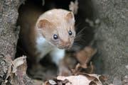 Ein Mauswiesel. (Bild: Getty)