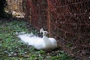 Seitdem der Haag an der Hecke angebracht ist, bleibt der weisse Pfau in seinem Revier im Park hinter dem Familienzentrum. (Bild: Sabrina Bächi)