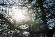 Othmar Hauser schneidet einen seiner rund 700 Hochstammobstbäume in Mörschwil zurück. (Bilder: Benjamin Manser)