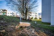 Nur noch ein Baumstrunk erinnert im Stephanshorn an einen grossen Baum. (Bild: Urs Bucher - 21. Februar 2019)