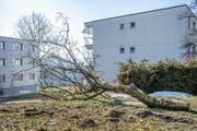 Anfang Februar wurden in einer Wohnüberbauung im Stephanshorn verschiedene Bäume gefällt. (Bild: Urs Bucher - 21. Februar 2019)