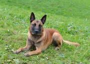 Polizeihund Brando stellte in Ebikon einen Einbrecher. (Bild: Luzerner Polizei)