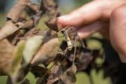 Der Feuerbrand ist eine bakteriell bedingte Pflanzenkrankheit, die sehr ansteckend ist und vor allem durch die braunen Blätter erkennbar ist. (Bild: Dominik Wunderli)