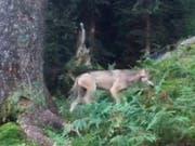 Der erste Wolf im Glarnerland seit der Rückkehr des Raubtieres in die Schweiz wurde im September 2016 oberhalb Mollis auf Video gebannt. (Bild: KEYSTONE/AMT FUER JAGD UND FISCHEREI GL/TONI KELLER JR)