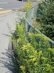 Invasive Neophyten (Kanadisch Goldruten) machen nicht Halt am Gartenzaun. (Bild: PD/Amt für Landwirtschaft und Umwelt Obwalden)