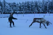 Ein Rentierrennen am Sami-Markt. (Bild: Maurice Grob)