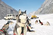 Huskys der Husky-Lodge in Muotathal bei einem Ausflug mit Schlitten.Bild: Archiv LZ