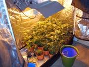 Bei einer Hausdurchsuchung in Nebikon LU stiessen die Polizisten in einer Scheune auf eine Indoor-Hanfanlage mit 80 Pflanzen. (Bild: Kapo Luzern)