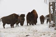 Bisons fühlen sich im Schnee des Appenzeller Vorderlandes heimisch. (Bild: Benjamin Schmid)