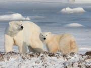 Dutzende von Eisbären sind den Behörden zufolge auf der sibirischen Arktis-Insel Nowaja Semlja in Wohnhäuser und öffentliche Gebäude eingedrungen. (Bild: KEYSTONE/AP The Canadian Press/JONATHAN HAYWARD)