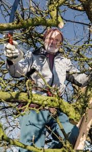 Guido Schildknecht im Geäst eines Apfelbaumes. (Bild: Thomas Hary)