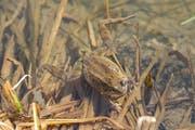 Ein Grasfrosch schwimmt im Wenigerweier. (Leserbild: Daniel Widmer -16. März 2017)