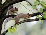 In luftiger Höhe rettete die Feuerwehr aus dem deutschen Landshut am Samstag vier neugeborene Eichhörnchen. (Bild: KEYSTONE/AP/ROBERT F. BUKATY)