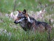 Im Wallis hat sich die Zahl der nachgewiesenen Wölfe seit einem Jahr von fünf auf zehn verdoppelt. Hier ein Wolf bei Bellwald im Obergoms im Frühling 2013. (Bild: Keystone/MARCO SCHMIDT)