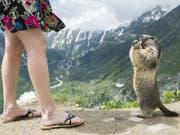 In manchen Walliser Ferienorten sind Murmeltiere eine Touristenattraktion. Sind sie zu zahlreich, können die Tiere nach Ansicht der Behörden auch zu einem Problem werden. (Bild: Keystone/DOMINIC STEINMANN)