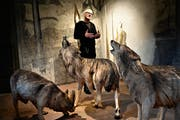 Rochus Lussi und die Wölfe. Obwohl sie sehr real wirken, geht es dem Künstler nicht um die reine Abbildung. (Bild: Romano Cuonz, Hofmatt Galerie Sarnen, 13. März 2019)