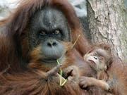 Auf Sumatra wurde ein durch 74 Gewehrkugeln schwer verwundetes Orang-Utan-Weibchen gefunden, ihr Baby starb. (Bild: Keystone/AP/CHRISTOF STACHE)