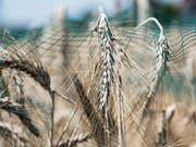 Mit einem Netz bedeckte Ähren in einem früheren Versuch mit Gentech-Getreide auf dem geschützten Feld in Reckenholz ZH. (Bild: KEYSTONE/CHRISTIAN BEUTLER)