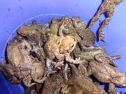 Blick in den Kübel: Dank der freiwilligen Helferinnen und Helfer erreichen diese Amphibien das Laichgewässer schadlos. (Bilder: PD)