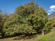 Im Alter zeigt die «Lüina» ihre typische Baumform mit ihrer ausladenden, nicht sehr hohen Baumkrone. (Bild: Fructus)