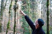 Auf dem Flechtenpfad: Revierförster Walter Ackermann zeigt eine seltene Lungenflechte. (Bild: Dieter Ritter)