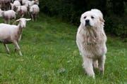 Im Gegensatz zu Hütehunden arbeiten Herdenschutzhunde selbstständig. (Bild: PD/AGRIDEA)