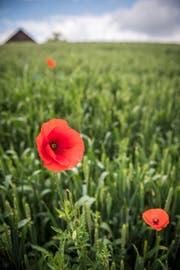 Mohn auf einem Getreidefeld in Märstetten. (Bild: Reto Martin)