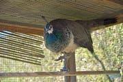 Das Weibchen, wegen der blauen Federn Marie genannt, gewöhnt sich in einer Voliere an ihre Umgebung, damit sie später keine Ausflüge ausserhalb des Parks mehr unternimmt. (Bild: Mario Testa)