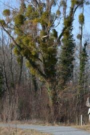Ist ein Baum im Winter grüner als im Sommer, droht er abzusterben. (Bild: Kurt Latzer)