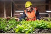 Klaus Wachter, Geschäftsführer des Scaut-Fördervereins, prüft das Gedeihen der Salatpflanzen. (Bild: Urs Bucher)