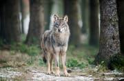 Alle Wölfe in der Schweiz sollen künftig mit einem GPS-Sender ausgestattet werden, fordert CVP-Nationalrat Thomas Egger. (Bild: Key, Bernd Thissen (18. Januar 2017, Nordrhein-Westfalen))