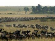Bald ein Bild der Vergangenheit? Gnus auf Wanderschaft durch das Masai Mara Reservat in Kenia. (Bild: Keystone/AFP/PEDRO UGARTE)