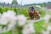 Ein Postkartenmotiv aus dem Thurgau: Die Pferdekutsche bringt Besucher des Bluescht-Fäschts an die verschiedenen Orte am Apfelweg bei Altnau. (Bild: Donato Caspari)
