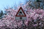 Prächtig blühende Büsche mit einer Strassensignalisation, die diese Woche wieder an Bedeutung gewinnen könnte. (Leserbild: Mattias Dolder - Harzbüchelstrasse, 31. März 2019)