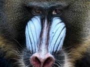 Auffälliger Schmuck wie beim Mandrill kostet viel Energie. Die Männchen dieser Art haben daher kleine Hoden. (Bild: KEYSTONE/EPA/FILIP SINGER)