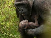 Dieses Gorilla-Baby ist Anfang April in einem Zoo in Dublin zur Welt gekommen. (Bild: KEYSTONE/AP PA/BRIAN LAWLESS)
