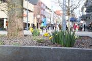 Die ausgewählten Baumrabatte in der Oberen Bahnhofstrasse blühen zurzeit richtig auf. Bild: Nicola Ryser