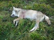 Ein abgeschossener Walliser Wolf im August 2010 - am Dienstag wurde im Wallis ein Wolf mit Schusswunde tot aufgefunden. (Bild: Keystone/STAATSKANZLEI WALLIS/ANONYMOUS)