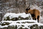 Die Alp des Bauern ist im Winter nur durch den Schneetöff zu erreichen - vor einer solchen Fahrt wollte er seine Gitzi bewahren. (Symbolbild: Jean-Christophe Bott/Keystone)