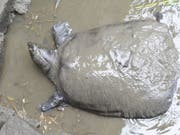 Das letzte bekannte Weibchen der Jangtse-Riesenweichschildkröte - hier bei einem Besamungsversuch 2015 - ist nach einem weiteren Befruchtungsversuch gestorben. Jetzt gibt es nur noch drei Exemplare dieser Gattung, eins davon ein Männchen in einem Zoo, die anderen beiden in freier Wildbahn, ihr Geschlecht ist nicht bekannt. (Bild: Keystone/EPA FEATURECHINA/FEATURECHINA)