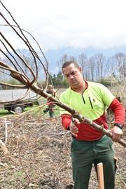 Daniel Baumgartner von der Forstgemeinschaft Grabus bereitet die junge Ulme auf die Einpflanzung vor. (Bild: Heini Schwendener)