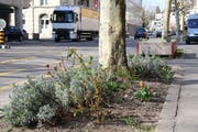 Ein Guerillagärtner hat an der Rosenbergstrasse zwei Baumscheiben bepflanzt. (Bild: Reto Voneschen – 3. April 2019)