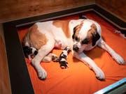 Eines der Bernhardiner-Weibchen der Fondation Barry in Martigny VS hat vor einer knappen Woche sieben Welpen zur Welt gebracht. (Bild: KEYSTONE/ADRIEN PERRITAZ)