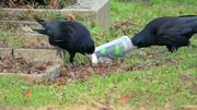 Krähen picken den Wachs aus den Grabkerzen. (Bild: PD)